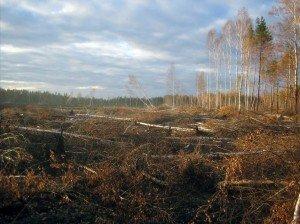 Выгоревшие смешанный лес и торфянисто-подзолистая глеевая песчаная почва (ноябрь 2010 г.).